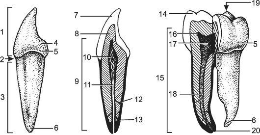 Общее строение зуба