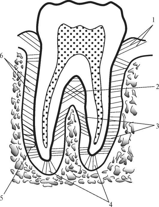 Пучки периодонта зуба