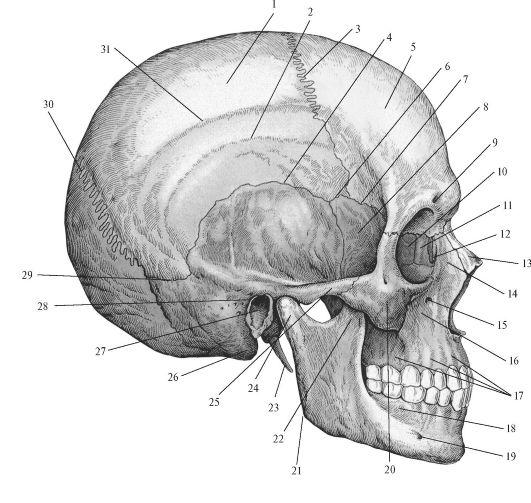 Строение черепа человека вид