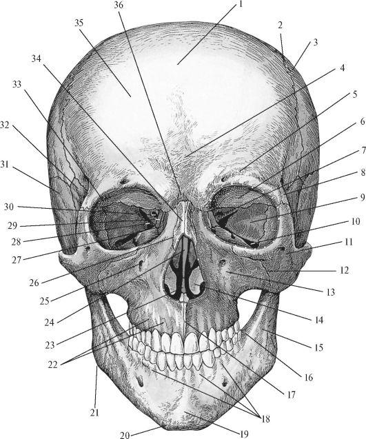 К лицевому отделу черепа