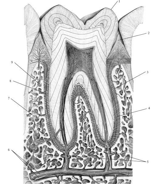 Схема строения зубочелюстного